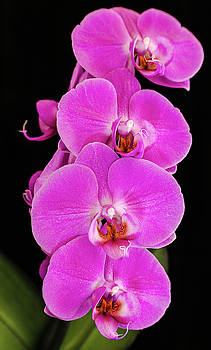 Pink orchid against a black background by Andy Myatt