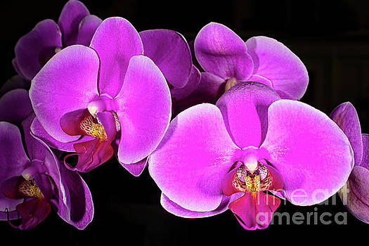 Pink Orchid by Joe Geraci