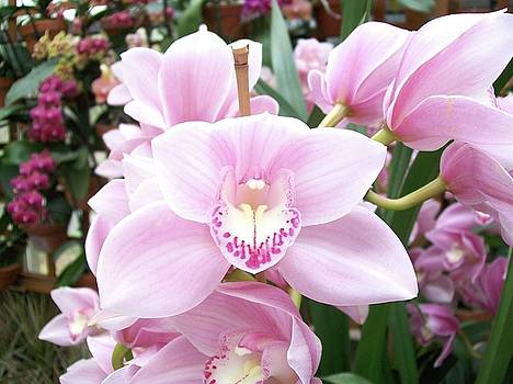 Pink Orchid by John Lyes