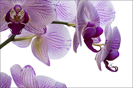 Pink Orchid by Michael Bufis