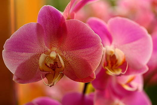 Pink Orchid Pair by Norman Drake