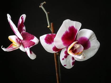 Pink orchid by Tamara Sushko