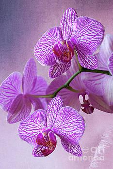 Heiko Koehrer-Wagner - Pink Orchids branch