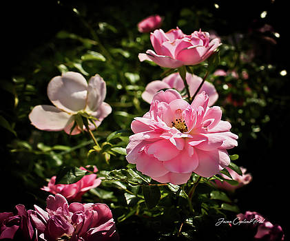 Joann Copeland-Paul - Pink Passion