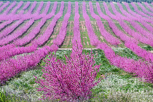 Heiko Koehrer-Wagner - Pink Peach Trees blooming