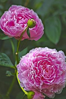 pink Peonies by Gillis Cone