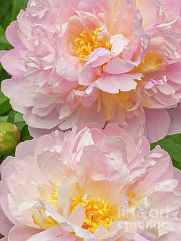 Pink Peonies by Stephen Shub