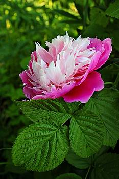 Pink peony in the summer garden by Yuri Hope