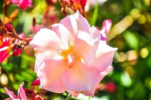 Pink peony  by Nicole Radlow