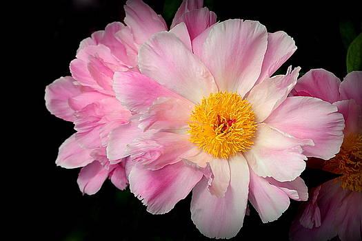 Rosanne Jordan - Pink Peony Splendor