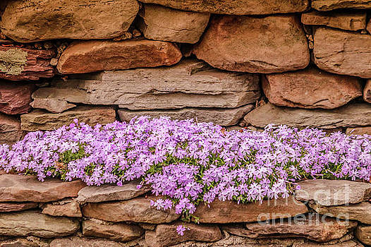 Pink phlox by Claudia M Photography