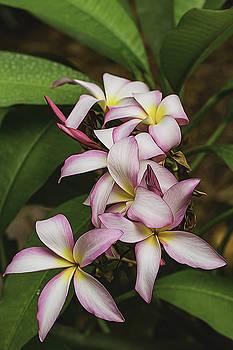 Bonnie Davidson - Pink Plumeria