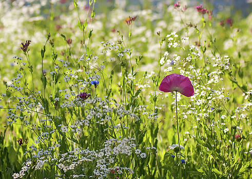 Terry DeLuco - Pink Poppy and Wildflowers