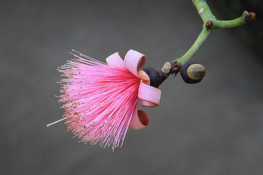 Pink Pseudobombax Ellipticum Flower by Bonnie Follett