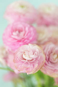 Pink Ranunculus on Blue by Susan Gary