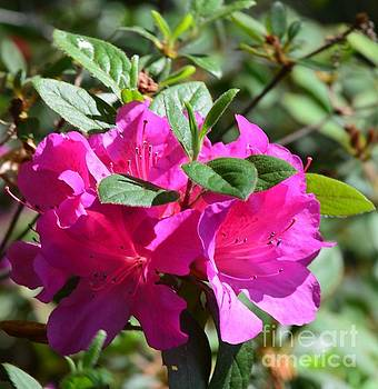 Maria Urso - Pink Rhododendron