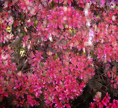 Thom Zehrfeld - Pink Rhododendron