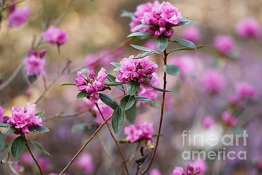 Pink Rhododendorn in Springtime by Geraldine Jane Ramos-Bittenbinder