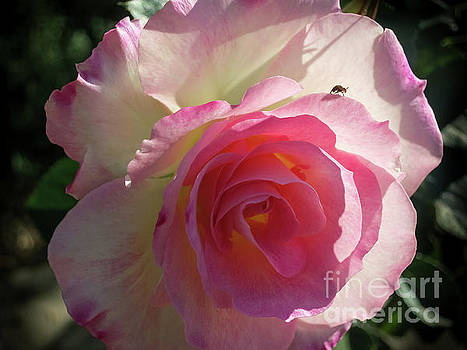 Pink Rose and a Bee by Barbara Dudzinska