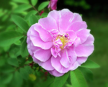 Pink Rose Blossom by David Hintz