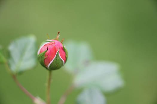 Pink Rose Bud by Kelly Hazel