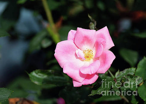 Pink Rose by Carolyn Abell Hodges