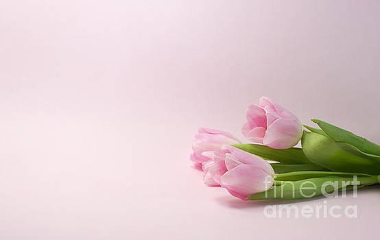 Compuinfoto  - pink rose