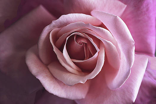 Pink Rose Delight by Vanessa Thomas