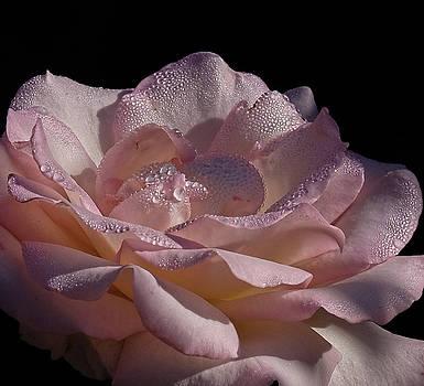 Pink Rose dew by Ronda Ryan