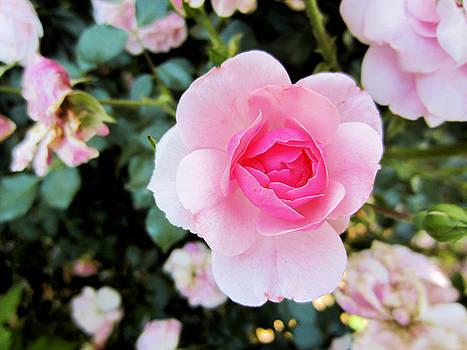 Pink Rose by Diamond Jade