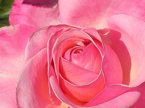 Pink Rose  by Diane Greco-Lesser