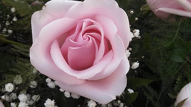 Pink Rose Heavenscent 1 by Muri McCage