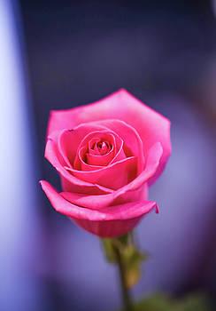 Pink Rose by Hyuntae Kim