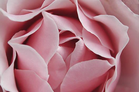 Kathi Shotwell - Pink Rose