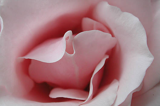 Kathi Shotwell - Pink Rose Kiss