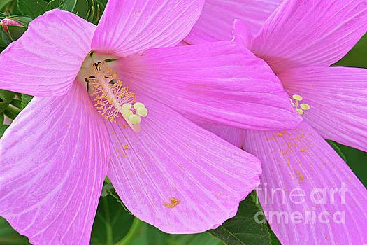 Regina Geoghan - Pink Rose Mallow Flowers