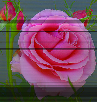 Pink Rose by Mary Gaines