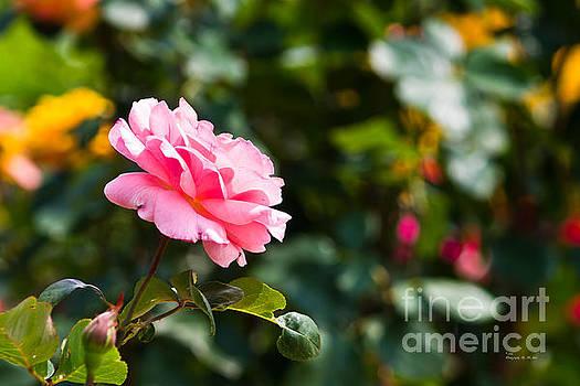 Pink Rose by Ms Judi