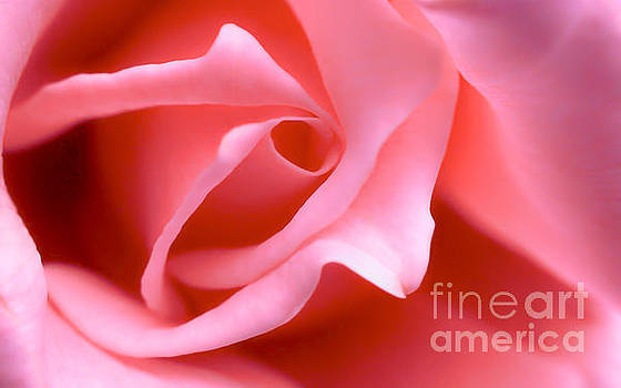 Pink Rose of Romance  by Peggy Franz