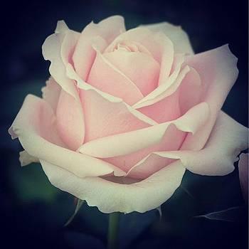 Pink Rose by Sharon Halteman