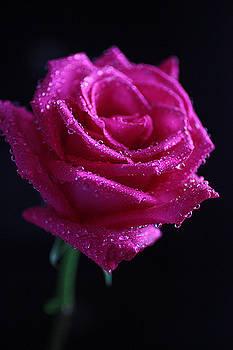 Pink Rose by Sameer Patil