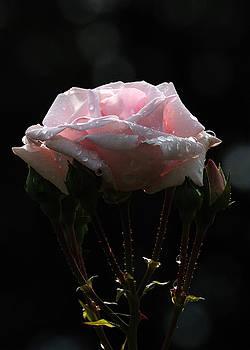Edward Sobuta - Pink Rose Silhouette 2