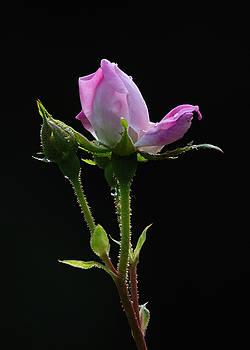 Edward Sobuta - Pink Rose Silhouette