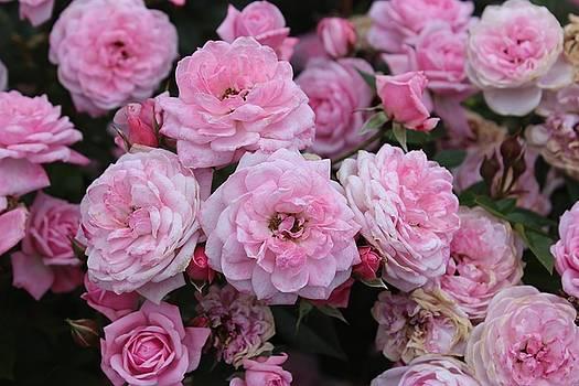 Pink Rose Spray by Linda Meyer