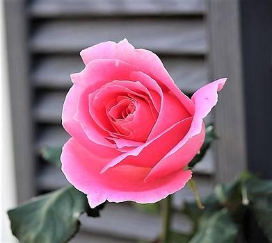 Pink Rose by Stacie Fernandes