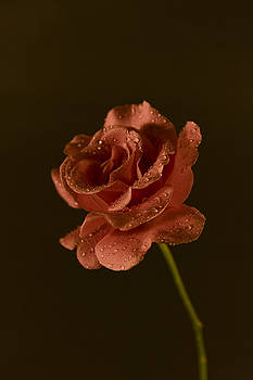 Pink Rose with Water Droplettes on a Dark Background by Mark Hendrickson