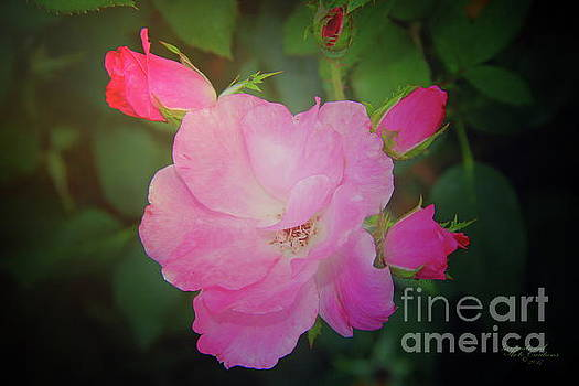 Pink Roses  by Inspirational Photo Creations Audrey Woods