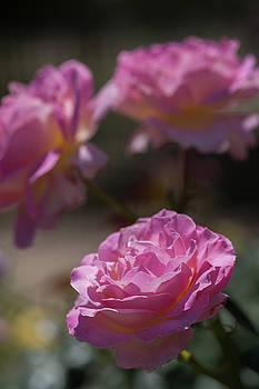 Dee Carpenter - Pink Roses