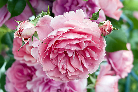 Frank Tschakert - Pink Roses