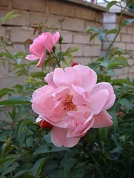 Pink Roses in Prague by Billie Jean Lamb